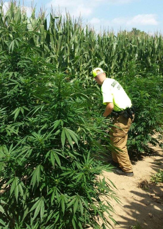 Sheriff S Office Seizes More Than 400 Marijuana Plants In